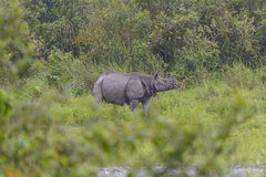 Indian Rhino in the Wilds Stock Photo