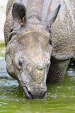 Indian Rhinoceros – (Rhinoceros unicornis). The Indian rhinoceros has come into water to get drunk Stock Photo