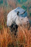 Indian Rhinoceros. The great indian rhinoceros does only exist in a handful of parks along the eastern himalaya royalty free stock photo