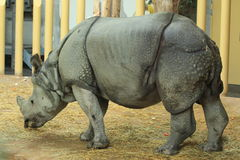 Indian rhinoceros Stock Photography