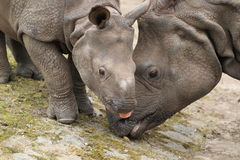 Indian rhinoceros Royalty Free Stock Image