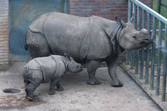 Indian Rhinoceros Royalty Free Stock Photo