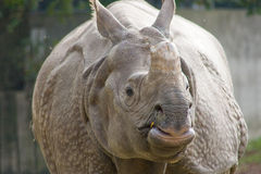 Indian rhinoceros Stock Images
