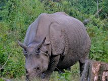 The Indian rhinoceros. Also called the greater one-horned rhinoceros and great Indian rhinoceros. Binomial name - Rhinoceros unicornis, Family: Rhinocerotidae royalty free stock photos
