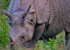 Indian Rhinoceros stock photo