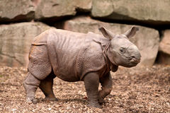 Indian Rhinoceros Baby stock photography