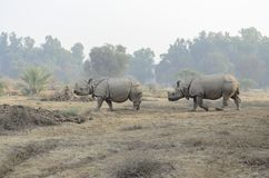 Indian rhinoceros in Bahawalpur National Park Pakistan. Indian rhinoceros walking in Bahawalpur National Park Pakistan Royalty Free Stock Images