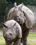 Indian rhinoceros with calf. Female indian rhinoceros (Rhinoceros unicornis) with calf in Planckendael zoo royalty free stock image