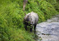 Indian rhinoceros Royalty Free Stock Photos