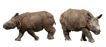 Indian Rhinoceros cubs, isolated. Two Indian rhinoceros cubs isolated on white background stock photos