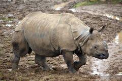 Indian Rhinoceros Stock Image