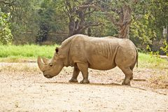 Indian rhinoceros Royalty Free Stock Photography
