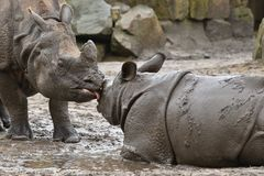 Indian rhinoceros mother and a baby in the beautiful nature looking habitat. stock photo