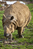 Indian Rhinoceros Stock Images