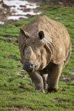 Indian Rhinoceros Stock Photography