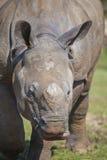 Indian Rhinoceros Stock Photos