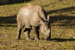 Indian rhinoceros (Rhinoceros unicornis). An Indian rhino is browsing Royalty Free Stock Photography