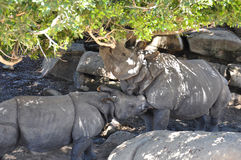 Indian Rhinoceros (Rhinoceros unicornis). Two greater one-horned rhinoceros in a grove of trees and boulders Stock Images