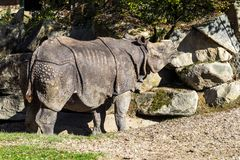 The Indian Rhinoceros, Rhinoceros unicornis aka Greater One-horned Rhinoceros stock photography