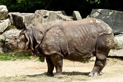 The Indian Rhinoceros, Rhinoceros unicornis aka Greater One-horned Rhinoceros stock photo