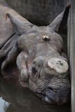 Indian rhinoceros Rhinoceros unicornis. Stock Photos