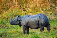 The Indian rhinoceros, Rhinoceros unicornis. Kaziranga National Park, Assam India stock photography
