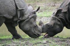 Indian rhinoceros (Rhinoceros unicornis) Stock Photography