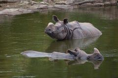 Indian rhinoceros Rhinoceros unicornis. Royalty Free Stock Photo