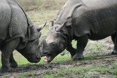 Indian rhinoceros (Rhinoceros unicornis) Royalty Free Stock Image