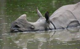 Indian rhinoceros (Rhinoceros unicornis) Royalty Free Stock Photo