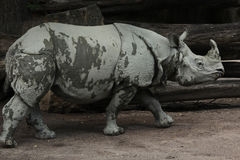 Indian rhinoceros (Rhinoceros unicornis). Stock Photography
