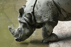 Indian rhinoceros (Rhinoceros unicornis). Stock Photo