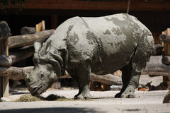 Indian rhinoceros (Rhinoceros unicornis). Royalty Free Stock Photo