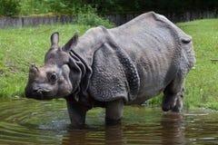 Indian rhinoceros Rhinoceros unicornis. Stock Photo