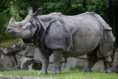 Indian rhinoceros Rhinoceros unicornis. Stock Photography