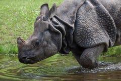 Indian rhinoceros Rhinoceros unicornis. Royalty Free Stock Photos