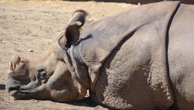 The Indian Rhinoceros Stock Images