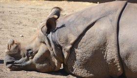 The Indian Rhinoceros Stock Image