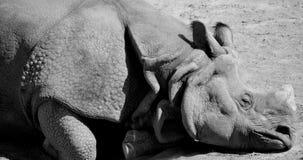 The Indian Rhinoceros Royalty Free Stock Photos