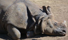 The Indian Rhinoceros Royalty Free Stock Photo