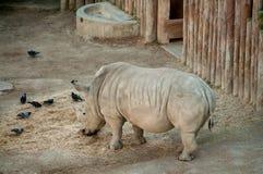 Indian rhinoceros Royalty Free Stock Image