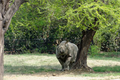 Indian rhinoceros Stock Image