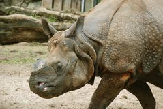 The Indian rhinoceros Royalty Free Stock Photography