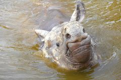 Indian rhinoceros in the water royalty free stock images