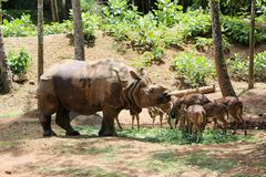 Indian rhinos Stock Images
