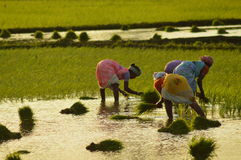 Indian rice farmer. Farmer working in rice fields in india Royalty Free Stock Photos