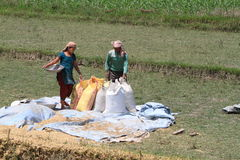 Indian Rice Harvest Royalty Free Stock Photo