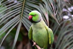 Indian ring neck parrot Stock Photos