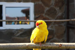 Indian ringed parrot. Indian parrot portrait exotic fauna bright color yellow red nature royalty free stock images