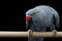 Indian Ringneck Parakeet Stock Photo